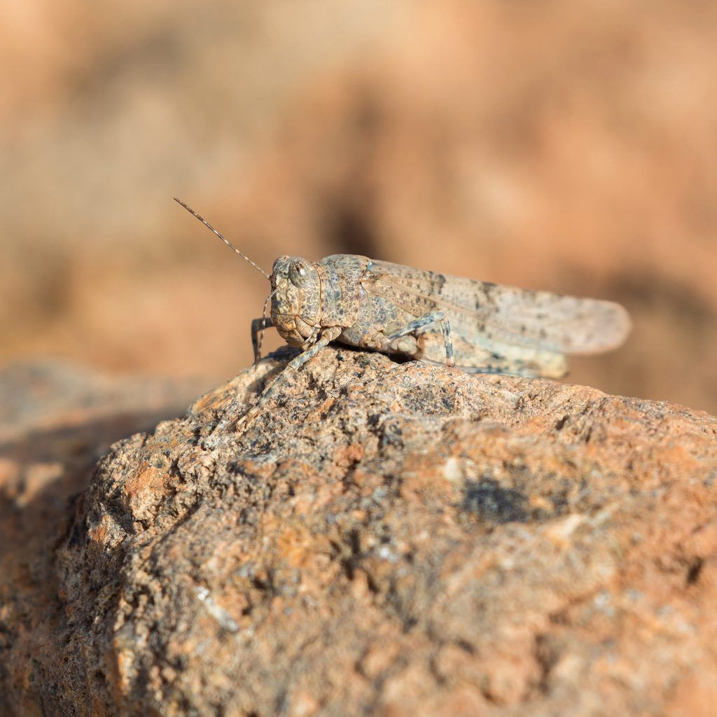 camouflage grasshopper photo by Josh Guyan