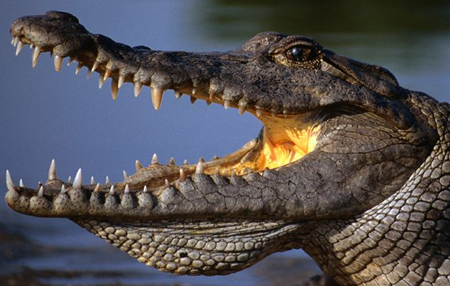 Nile River Facts - Nile Crocodile
