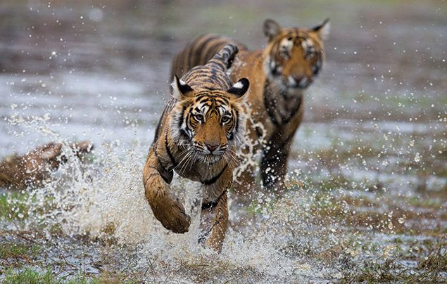 Nat Geo Wild Big Cat Month: tigers splashing through water