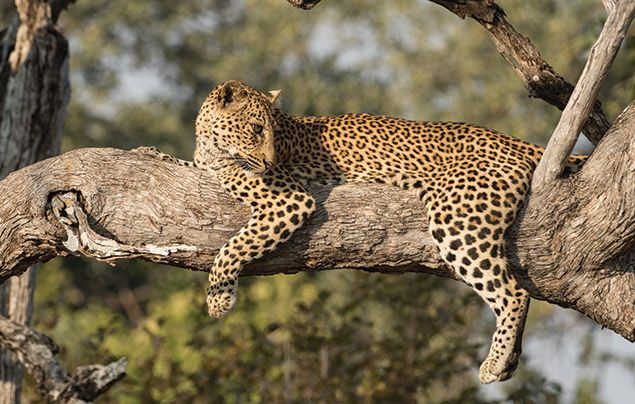 Nat Geo Wild Big Cat Month: leopard resting in a tree