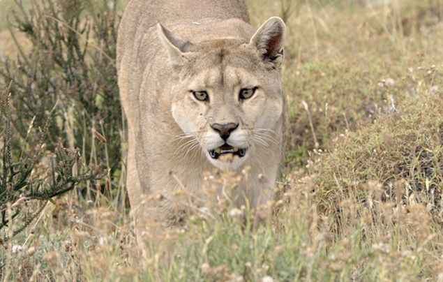 Nat Geo Wild Big Cat Month: puma in long grass
