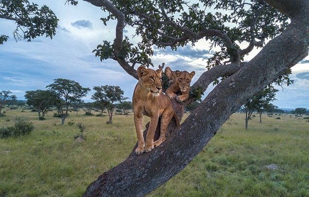 Nat Geo Wild Big Cat Month: lions up in a tree