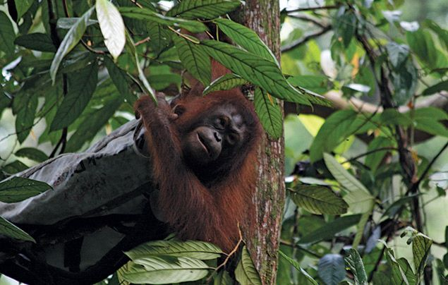 Hostile Planet: orangutan in tree