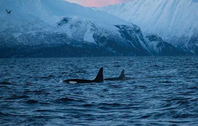 Hostile Planet: orcas come up for breath in front of a snow-capped mountain