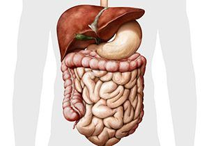 Human digestive system illustration