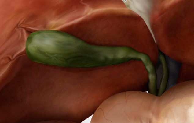 Human digestive system gallbladder illustration