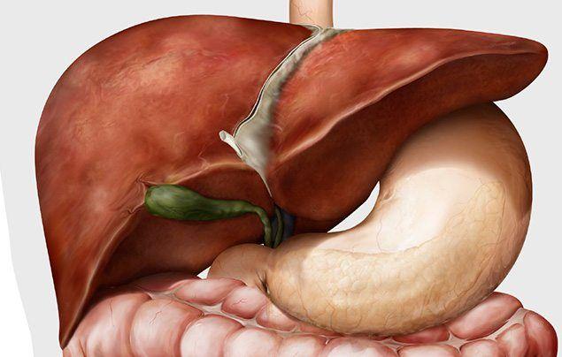 Human digestive system liver