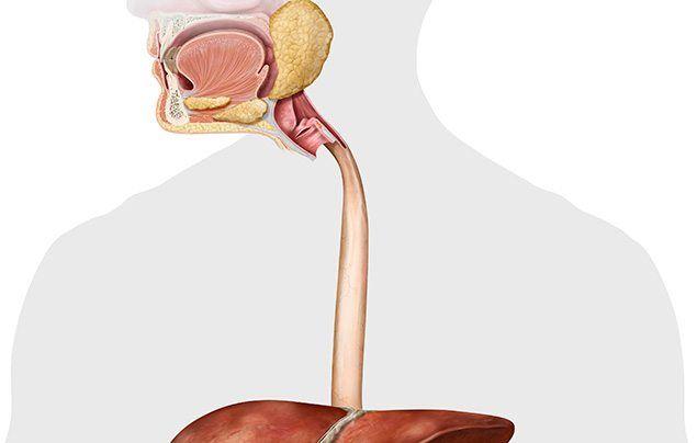 Human digestive system oesophagus illustration