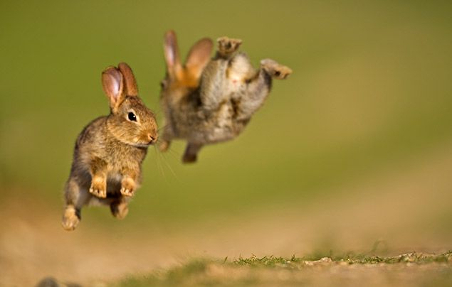 Rabbit facts: picture of two rabbits jumping in the air