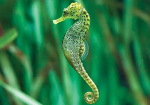 Seahorse Primary Resource National Geographic Kids