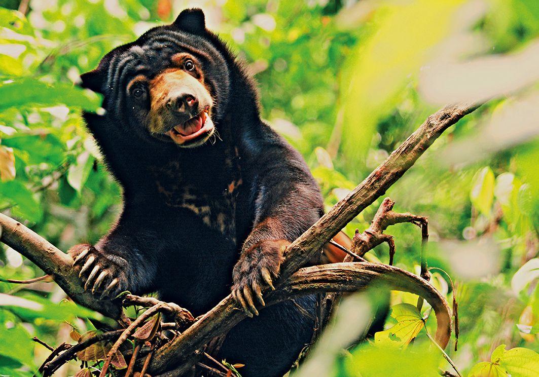 Sun Bear Primary Resource