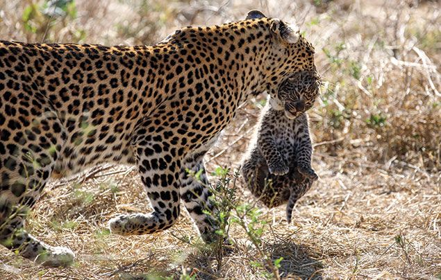 National Geographic Wild Savage Kingdom 3: mother leopard carrying cub in mouth
