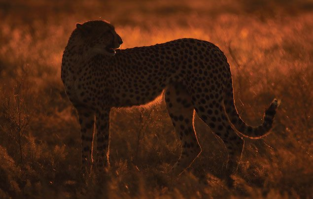 National Geographic Wild Savage Kingdom 3: cheetah illuminated by the sun