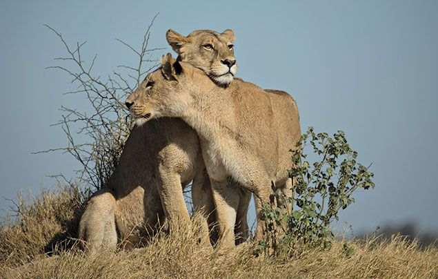 National Geographic Wild Savage Kingdom 3: two lions in the savannah