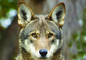 Red Wolves Primary Resource   National Geographic Kids
