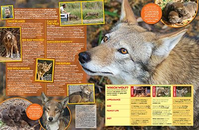 Red Wolf Primary Resource - Small Image