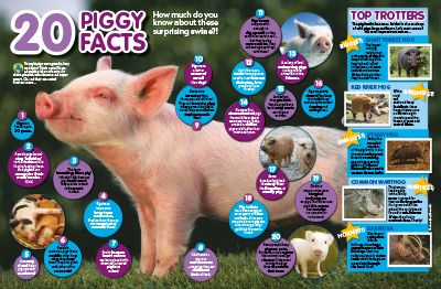 Pig facts primary resource