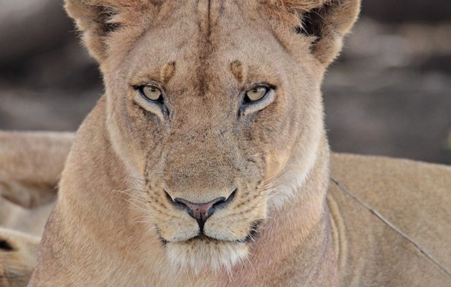 Extraordinary Africa National Geographic Wild: photo of lioness