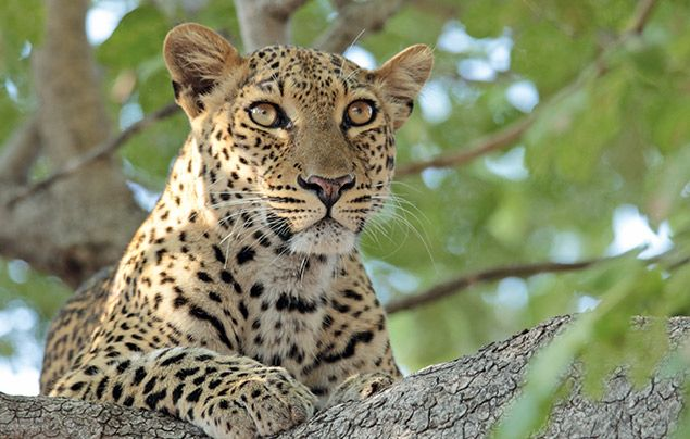 Extraordinary Africa National Geographic Wild: photo of leopard in a tree
