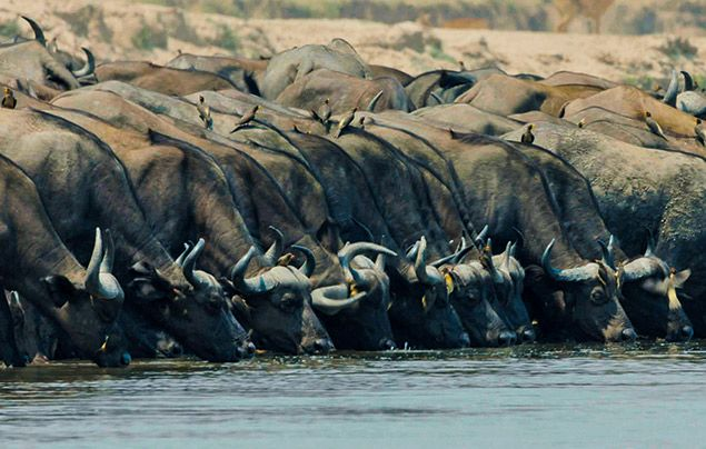 Extraordinary Africa National Geographic Wild: photo of buffalo drinking at a river