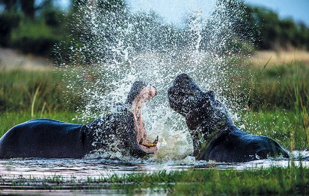 Extraordinary Africa National Geographic Wild: photo of hippos fighting