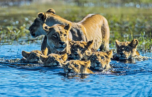 Extraordinary Africa National Geographic Wild: photo of lionesses and cubs crossing the river