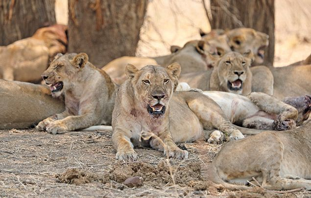 Extraordinary Africa National Geographic Wild: photo of a full-bellied pride of lions