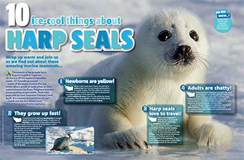 Harp seal primary resource - small image