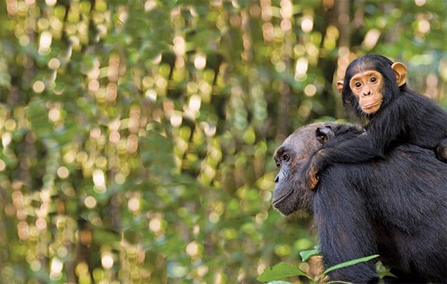 Jane Goodall interview: mother and infant chimp