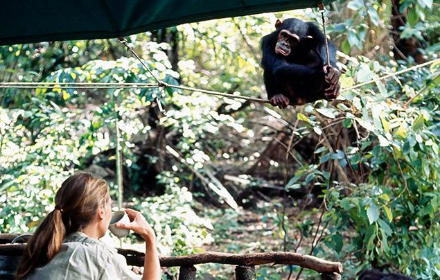 Jane Goodall interview: Jane observing chimp