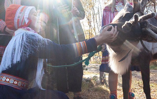 Sámi people: Sámi woman inspects reindeer