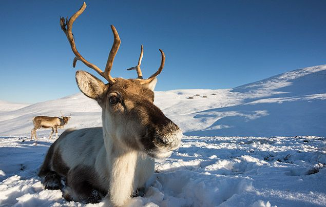 Reindeer facts: image of two reindeer in the snow