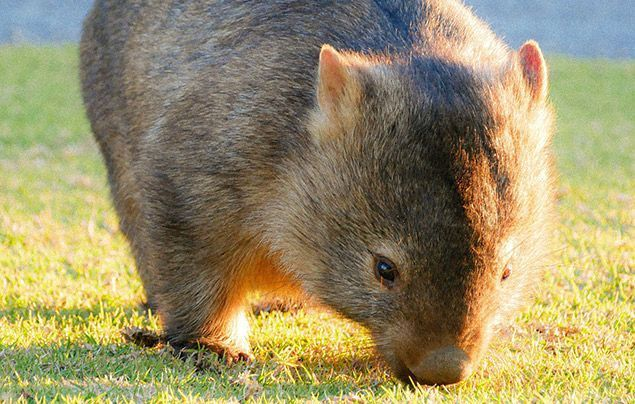 Facts about wombats | wombat in the sun eating grass