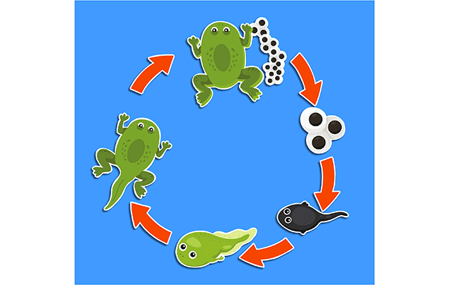 Frog life cycle | a circular diagram of the lifecycle
