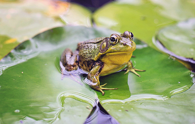 Frog Lifecycle | Bull frog sitting on a lilypad