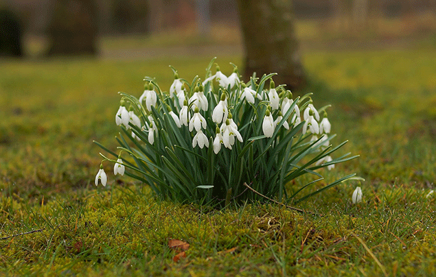 Signs of Spring | Snowdrops