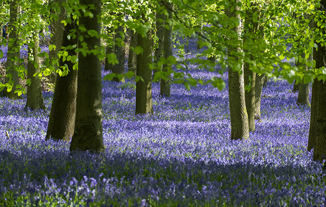 Signs of Spring | Bluebell woodland