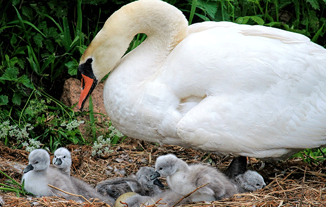 Signs of Spring | Swan and her cygnets