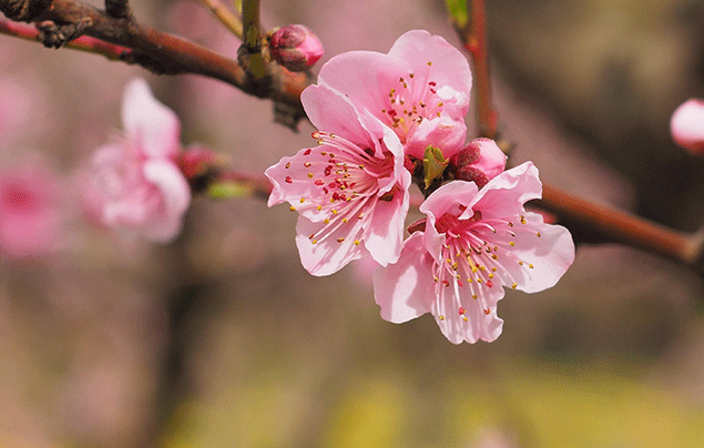 Signs of Spring | Pink blossom body image