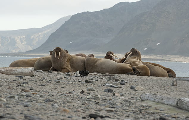 Walruses hauled out on a beach