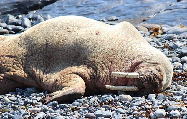 A walrus lies sleeping on a rocky beach