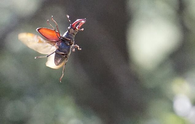 a stag beetle flies through the air, its wings outstretched behind it.