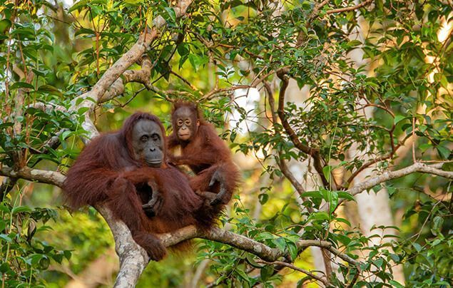 a mother orangutan and baby sit in a healthy rainforest tree