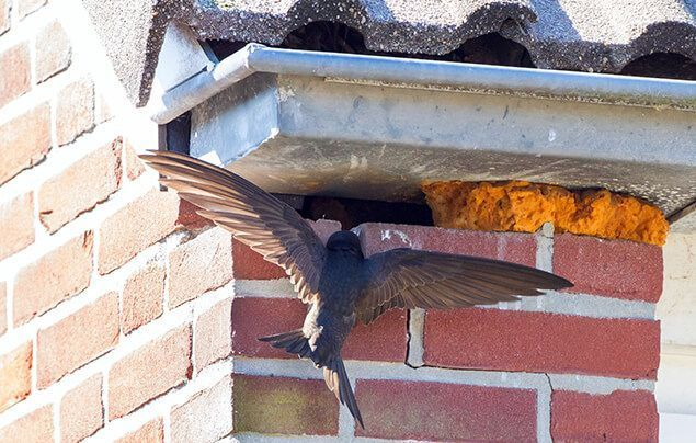 swift nest boxes | a swift flies up under the eaves of a roof, towards a small gap