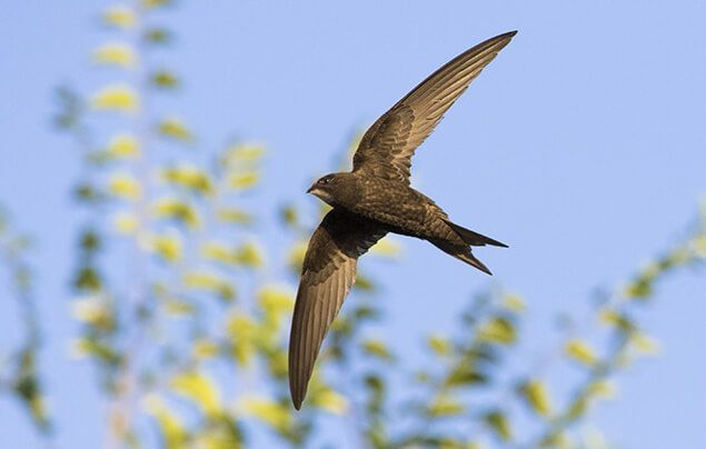 swift nest boxes | a swift flying