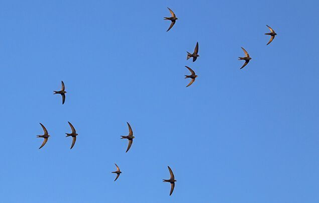 swift nest boxes | a flock of swifts against a blue sky