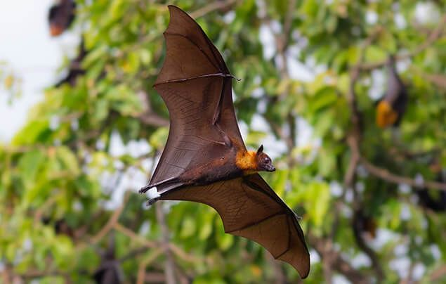 bat facts | a flying fox swoops in front of a tree where others are roosting