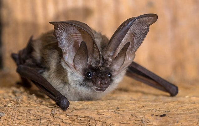 bat facts | a bat with long ears is perched on some wood