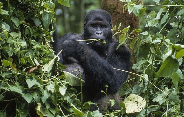 gorilla facts | a gorilla with a mouthful of leaves