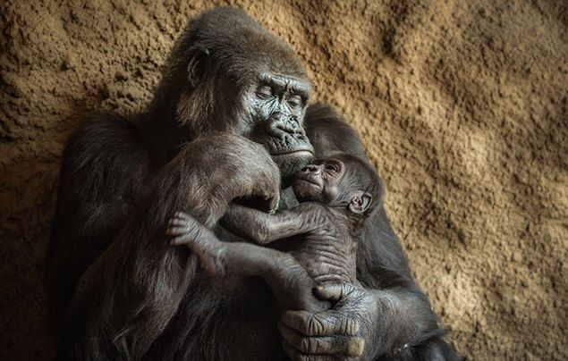 a mother gorilla holds her infant baby